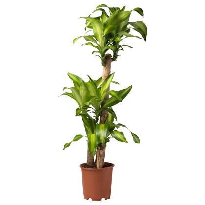 DACANE Cây xanh trồng trong chậu